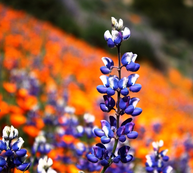 Figueroa mountain lupine