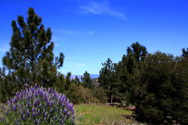 Figueroa Mountain Zaca Ridge bush lupine