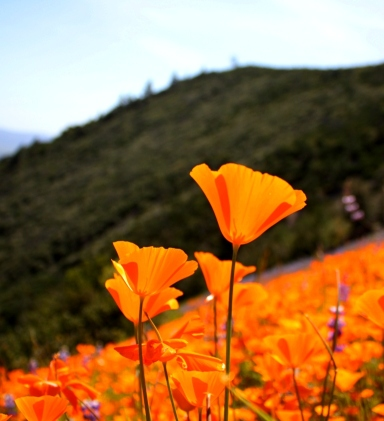 Figueroa poppies