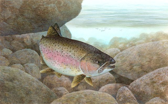 California southern steelhead Santa Barbara