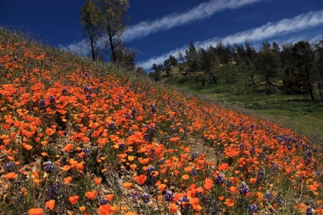 Figueroa Mountain Poppies Lupine