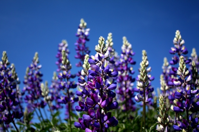 Figueroa Mountain lupines