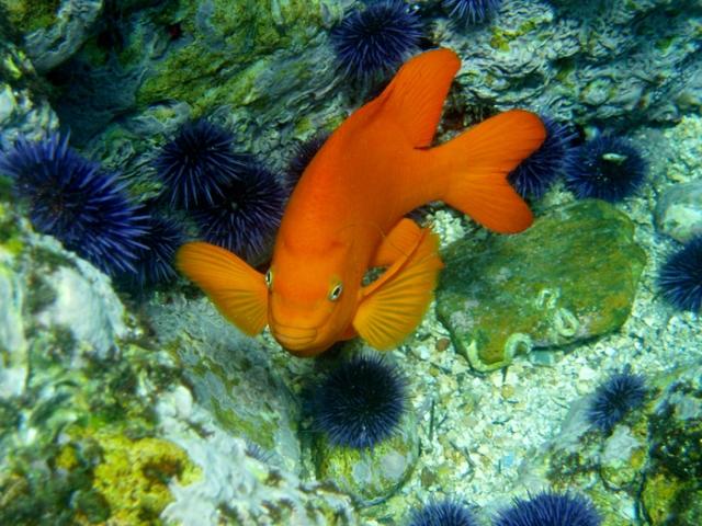 garibaldi sea urchins