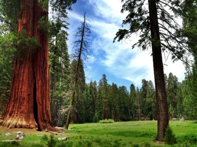 Sequoiadendron giganteum giant sequoia