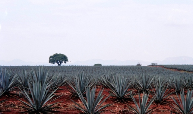 blue agave Tequila Mexico