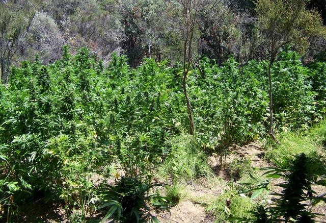 marijuana santa barbara