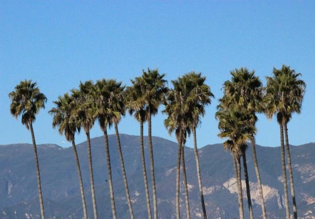 Palms at Goleta Beach