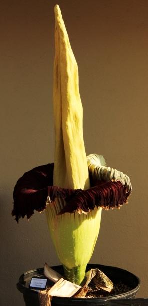Amorphophallus titanum corpse flower titan arum