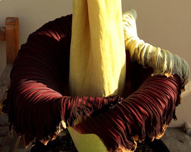 chanel corpse flower amorphophallus titanum