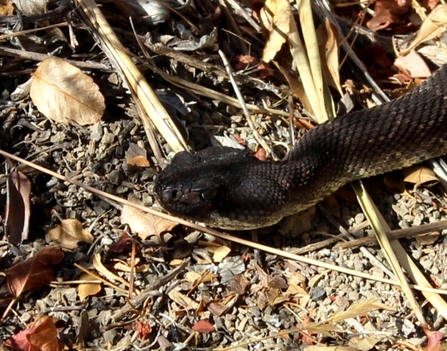 rattlesnake head