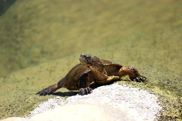 western pond turtle (2)