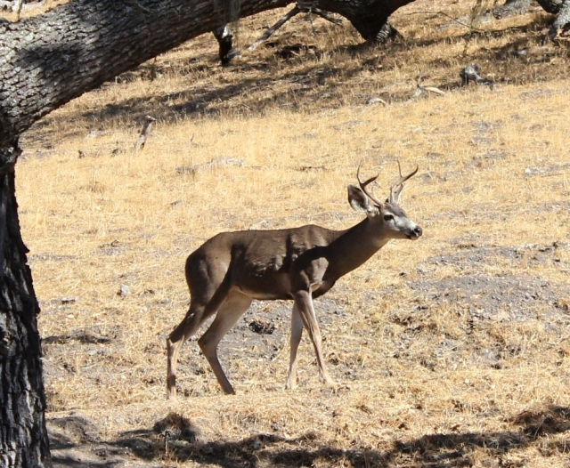 Buck Figueroa Mountain Los Padres National Forest