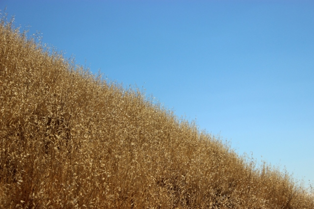 California golden state dried oats grass