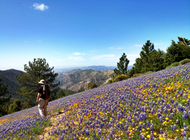 Figueroa Mountain Wildflower Bloom