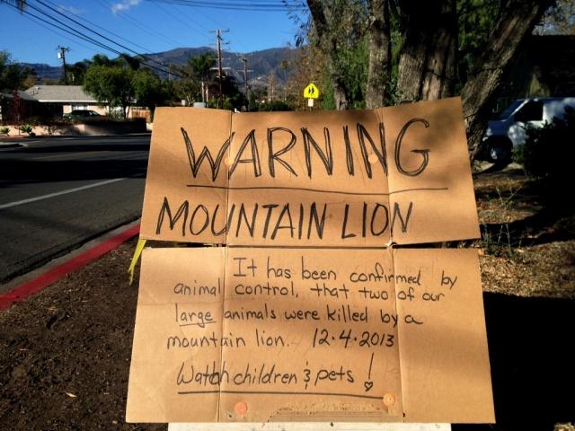 Mountain Lion Santa Barbara