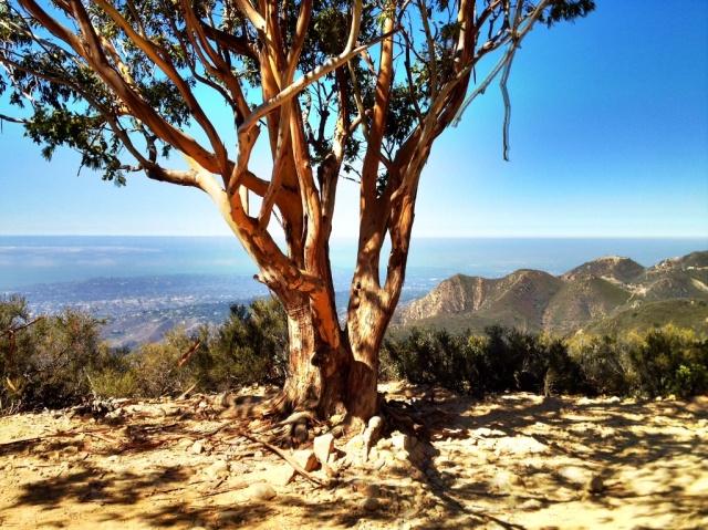 San Ysidro Trail eucalyptus