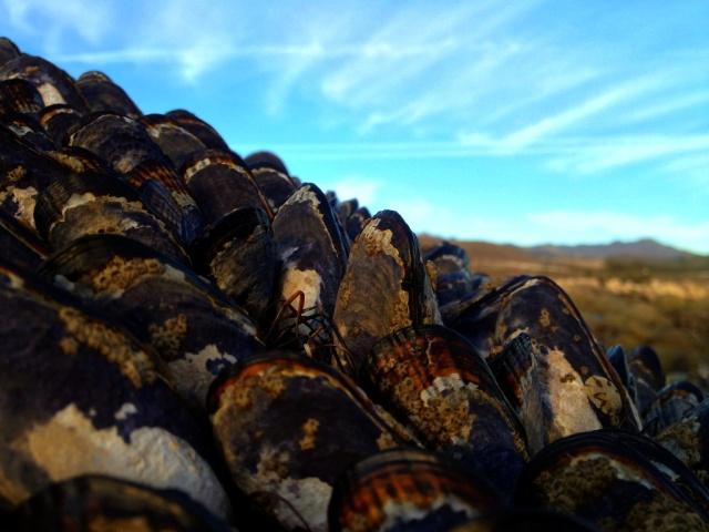 California mussels Santa Barbara