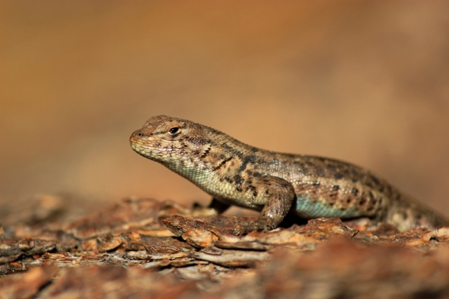 Western Fence Lizard blue-belly