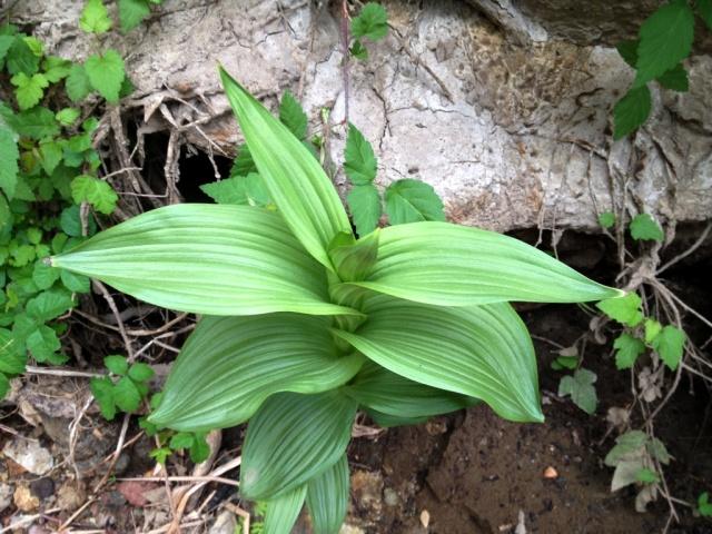 California Stream Orchid Epipactis gigantea Santa Barbara