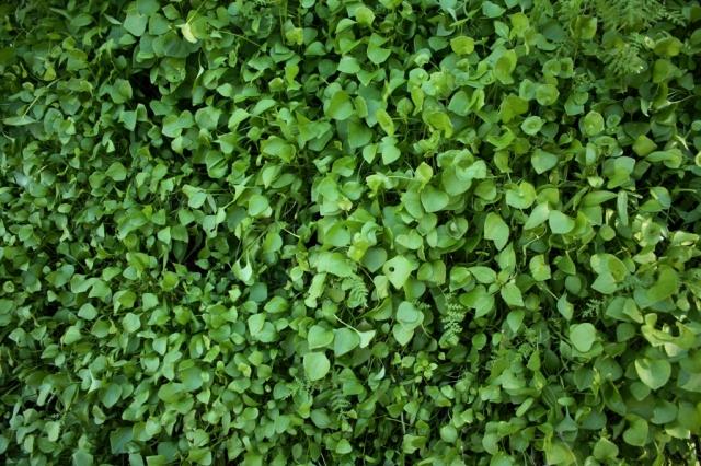 miner's lettuce Claytonia perfoliatum