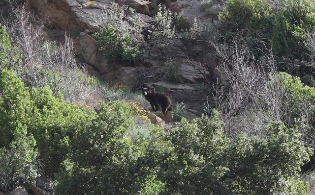 black bear Santa Barbara hiking
