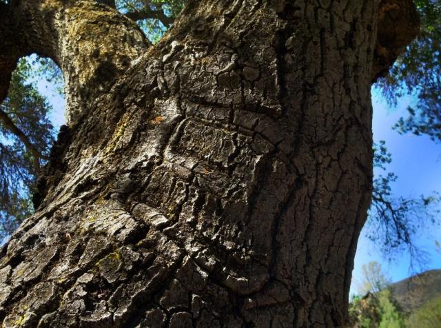 Eddy Fields initials oak tree Manzana Creek
