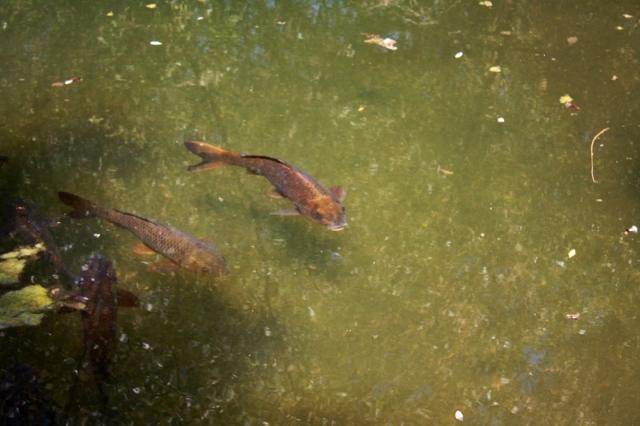 Santa Ynez River carp