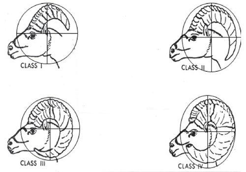 bighorn sheep rams class identification