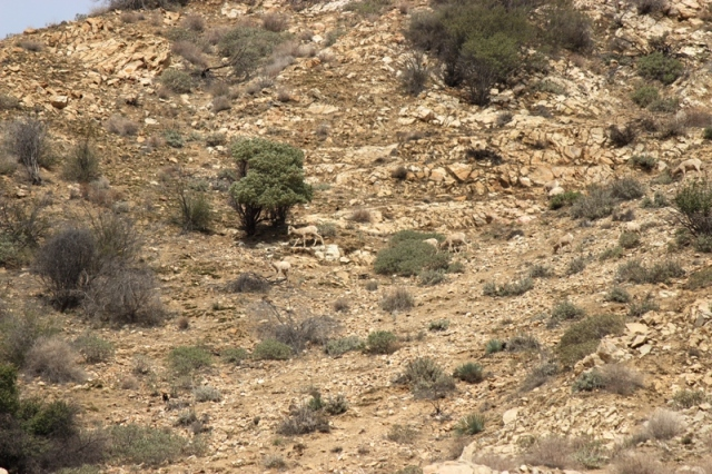 Desert Bighorn Sheep foraging