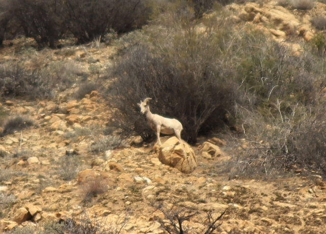 Desert Bighorn Sheep Los Padres National Forest