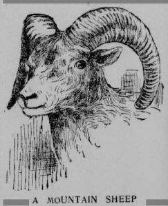 "An illustration from an article entitled, ""Shooting Mountain Sheep In Lower California,"" published by the Los Angeles Herald in 1897."
