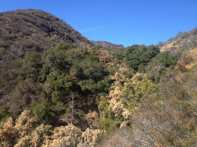 Coast Live Oaks canyon hike
