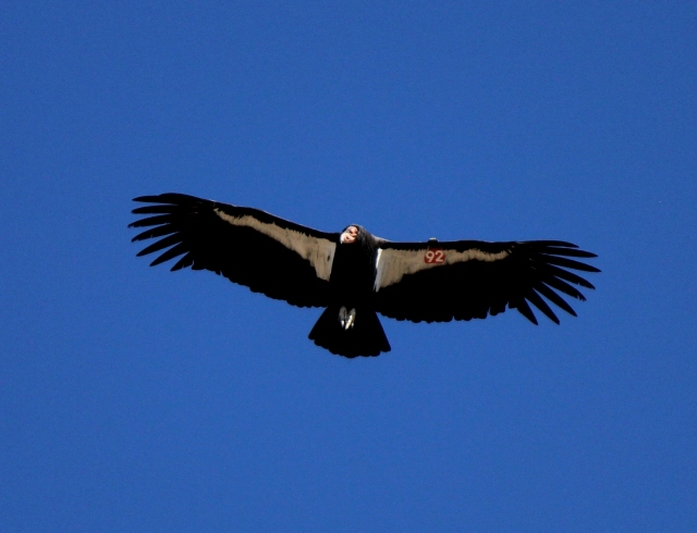 California condor Sespe Wilderness Los Padres