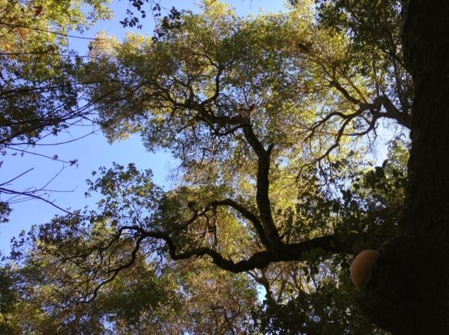 Hericium mushroom lion's mane Santa Ynez Mountains