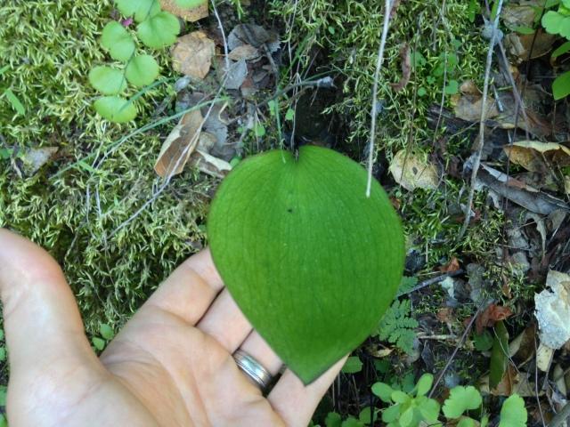 Fritillaria ojaiensis leaf Santa Ynez