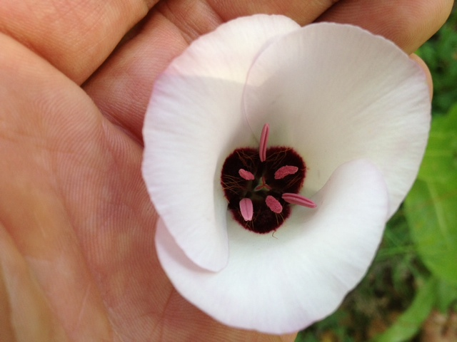 calochortus Los Padres National Forest hikes