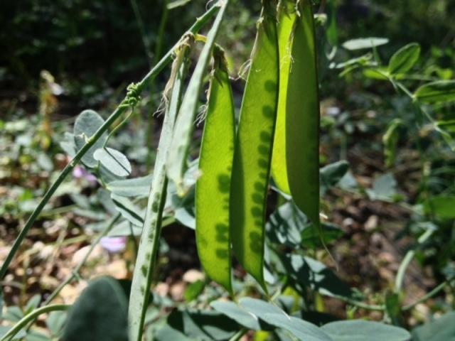 wild edibles peas Santa Barbara foraging