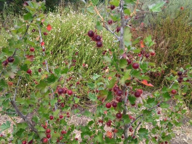 Gooseberries Santa Barbara Los Padres Forest foraging