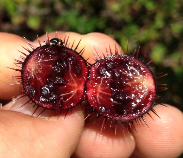 gooseberry Santa Barbara Hikes Los Padres National Forest