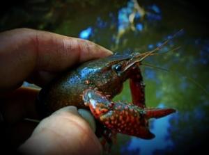 Santa Barbara crawdad crayfish Los Padres