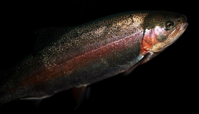 steelhead rainbow trouts