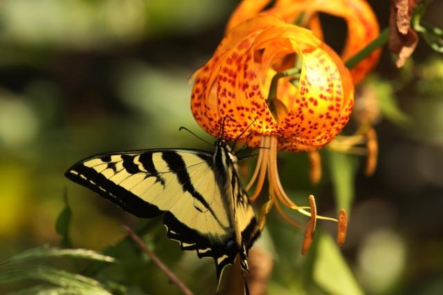 swallowtail butterfly lily Santa Barbara Santa Ynez Mountains hiking Los Padres