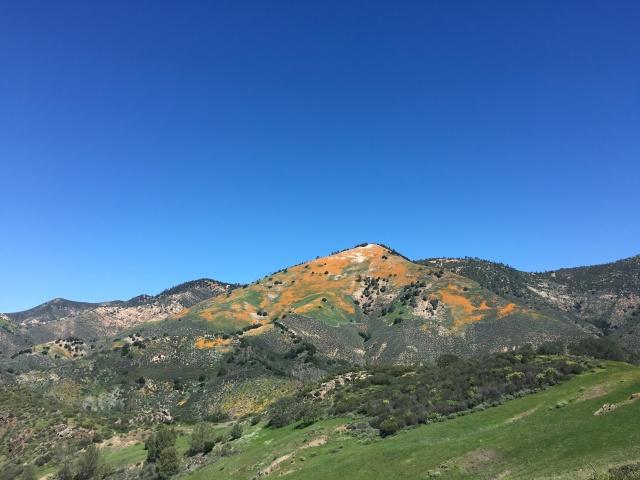 Grass Mountain Figueroa wildflower poppy lupine bloom