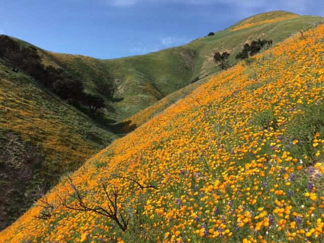 poppy lupine santa barbara wildflowers