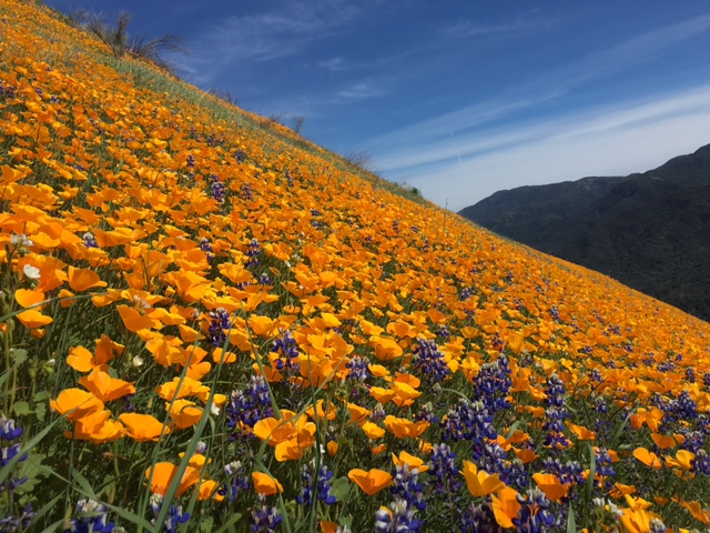 poppy lupine santa ynez wildflower bloom 2016