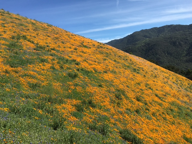 poppy lupine wildflower bloom Santa Ynez Los Padres
