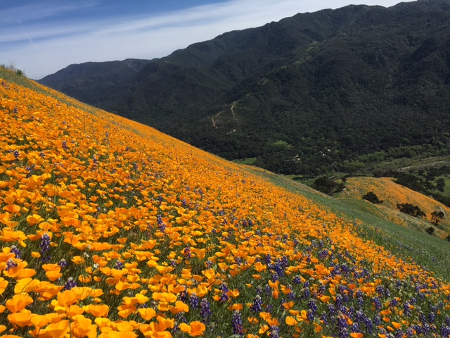 poppy lupine wildflower Santa Ynez Mountains