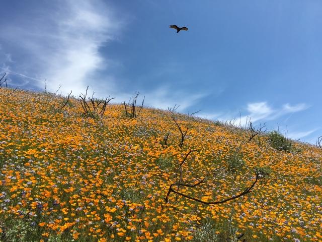 buzzard wildflowers