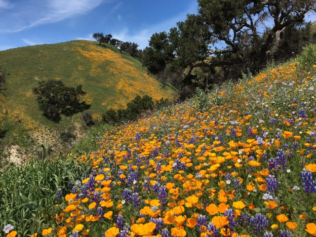 poppy lupine wildflower bloom 2016 santa barbara
