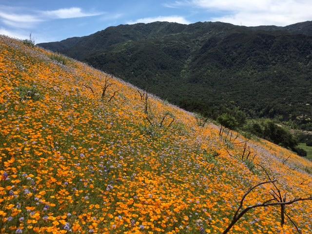 santa barbara los padres wildflower 2016 figueroa
